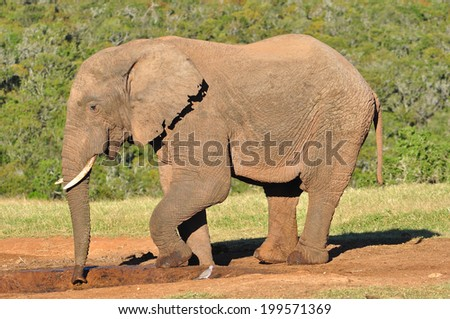 African Elephant at watering hole