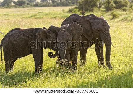 African elephant babies, Masai Mara National Reserve, Kenya, Africa - stock photo