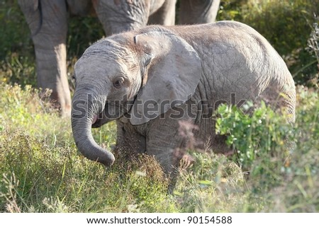 African Elephant Baby - stock photo