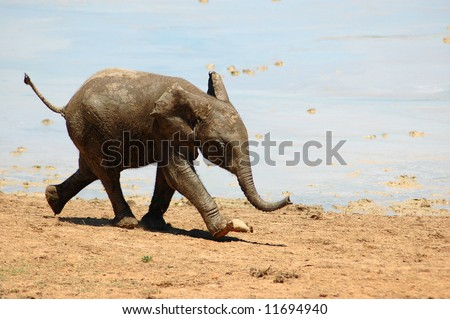 African elephant baby calf running - stock photo