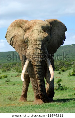 African elephant bull - stock photo