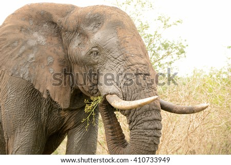 African Elephant bull eating as he moves through the bush - stock photo
