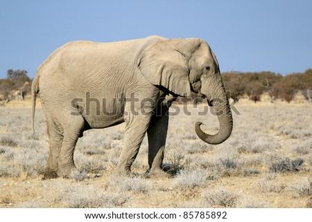 African elephant bull in Etosha Wildlife Reserve, Namibia - stock photo