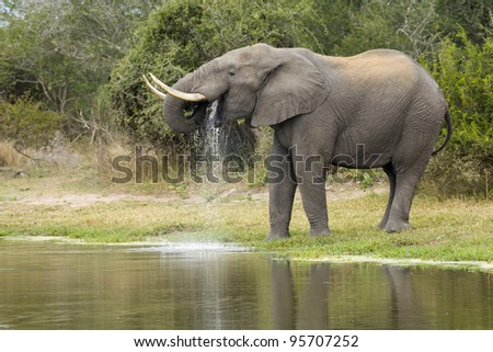 African Elephant Bull (Loxodonta africana) drinking water from a natural pan in South Africa's Kruger National Park