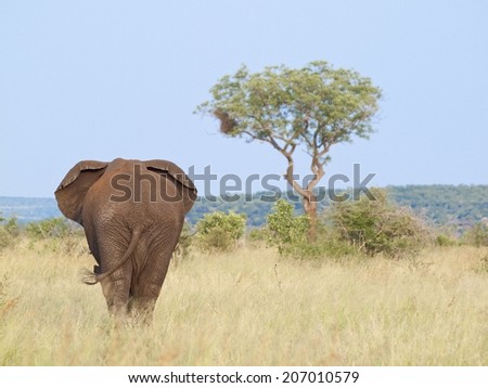 African elephant bull walking towards camera in relatively dry Bush veld environment, with the elephant filling about forty percent of the photo. - stock photo