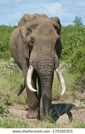 African Elephant bull walking towards the camera in the Kruger National Park, South Africa. - stock photo