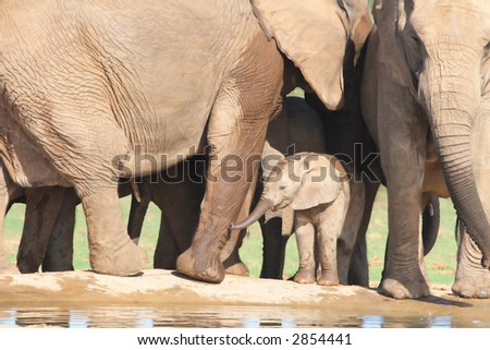 African Elephant calf amongst adults legs while trying to work out how to drink with the thing called a trunk !  During it's stay at the waterhole it never quite got it right. - stock photo