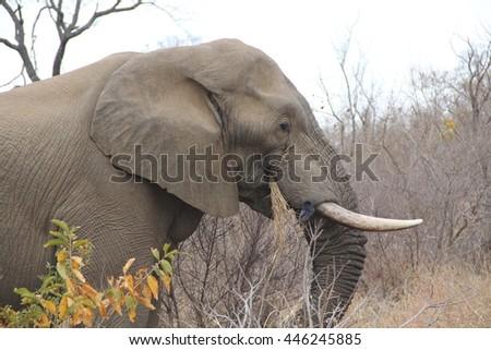 African elephant close up. - stock photo