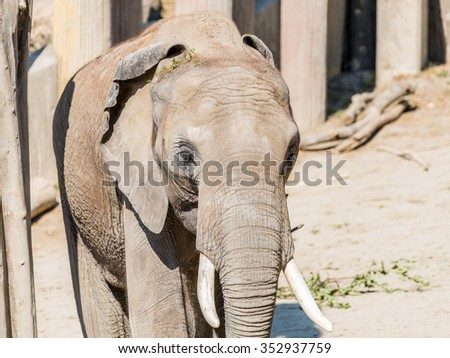 African Elephant Close Up In South Africa - stock photo