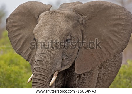 African elephant close-up, Loxodonta Africana; South Africa