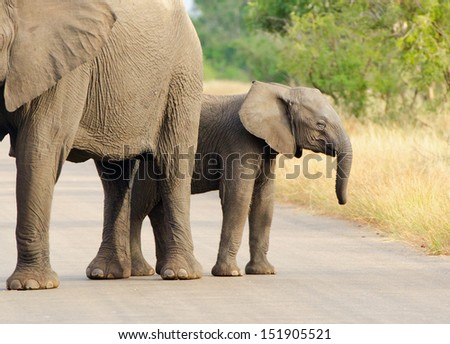 African Elephant Cow and Calf.  Kruger National Park, South Africa