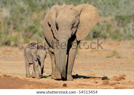 African elephant cow with small calf (Loxodonta africana), South Africa - stock photo