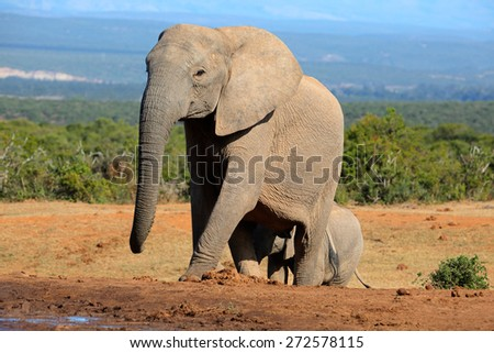 African elephant cowl (Loxodonta africana), Addo Elephant National park, South Africa - stock photo