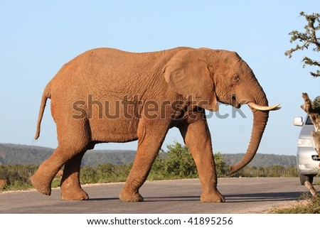 African elephant crossing the road in a national park in South Africa