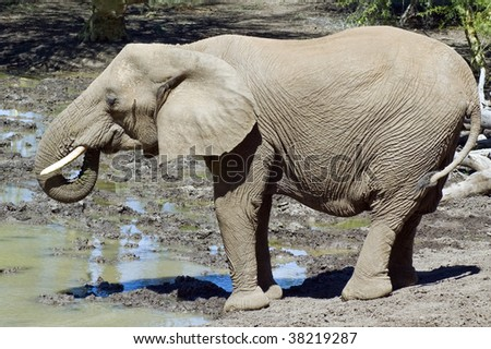 African Elephant drinking next to waterhole