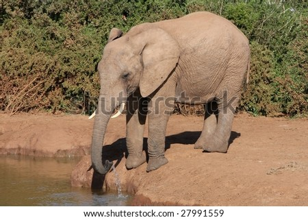 African elephant drinking water at a dam in the bush