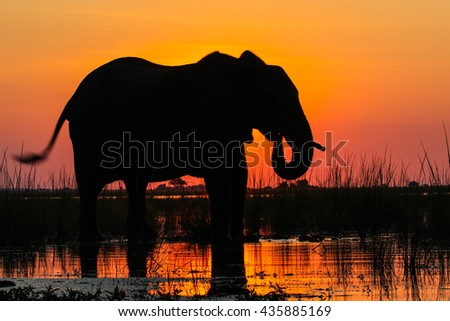 African elephant drinking water from river at sunset - stock photo
