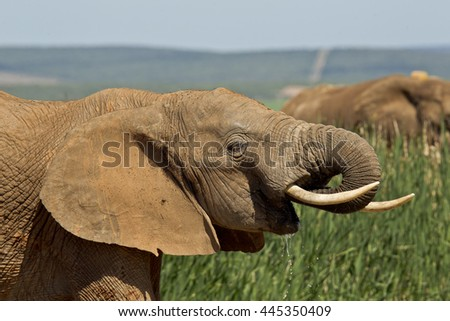 African elephant drinking water with green reeds and other elephants behind it - stock photo