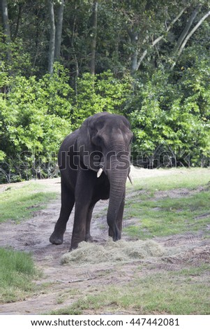 African Elephant eating hay surrounded by trees - stock photo