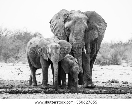 African elephant family drinking from waterhole in Etosha National Park, Namibia. Black and white image.