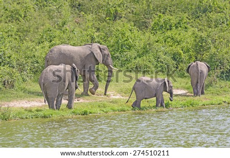 African Elephant Family Group along a the Kazinga Channel of the Nile River in Uganda - stock photo
