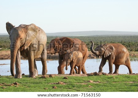 African elephant family leaving a waterhole after drinking - stock photo