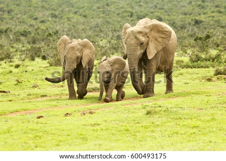 African elephant family on the move towards a water hole