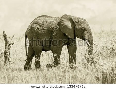 African elephant female on the Masai Mara National Reserve, Kenya, Eastern Africa (stylized retro) - stock photo