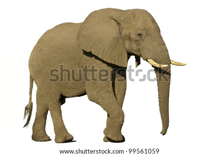 African Elephant from side view./ Elephant.