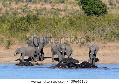 African elephant herd at the water with the young bulls swimming and challenging each other playfully - stock photo