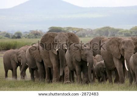 African Elephant herd in Amboseli National Park Kenya - stock photo