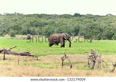 African Elephant in free nature