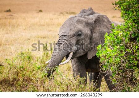African elephant in Kenya - stock photo