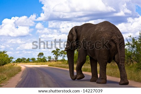African Elephant in Kruger National Park - stock photo
