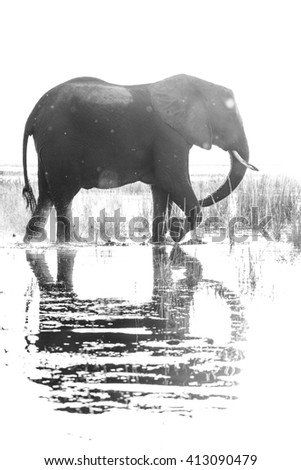 African elephant in river with sunset behind it - stock photo