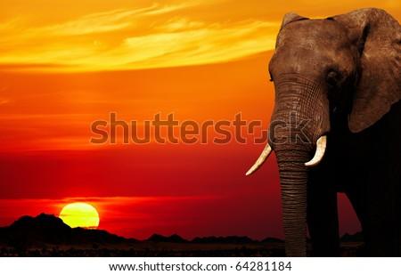 African elephant in savanna at sunset - stock photo