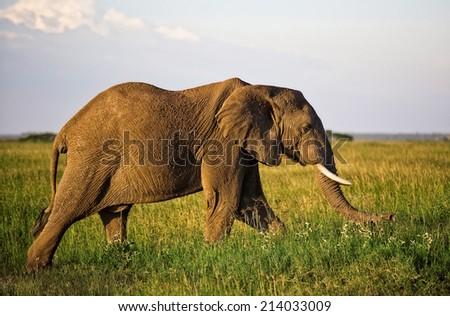African elephant in the Serengeti National Park, Tanzania - stock photo