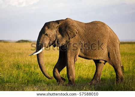 African elephant in the Serengeti National Park, Tanzania - stock photo