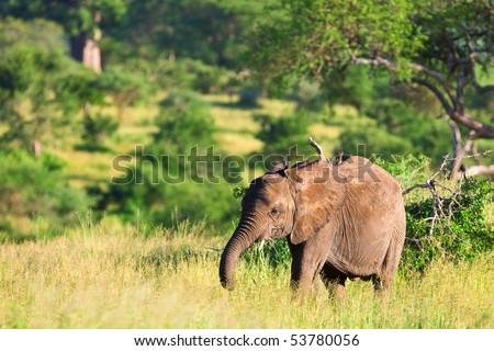 African elephant in the Tarangire National Park, Tanzania - stock photo