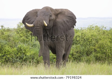 African Elephant in the Uganda wild - stock photo