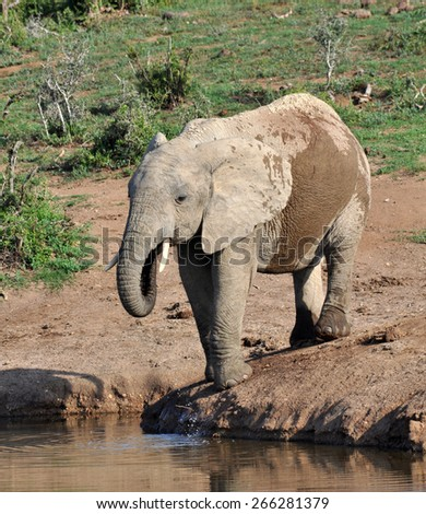 African Elephant in the Wild - stock photo