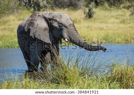 African Elephant in water in Savuti in Botswana