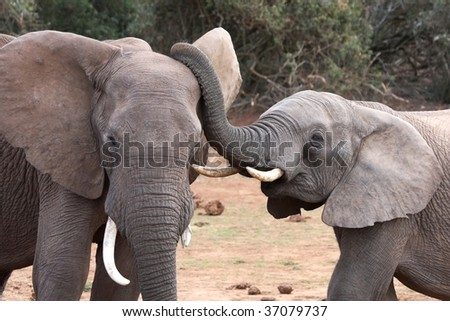 African elephant interaction between two large male or bulls