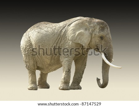 african elephant isolated in gradient back