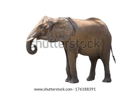African elephant. Isolated on white background - stock photo