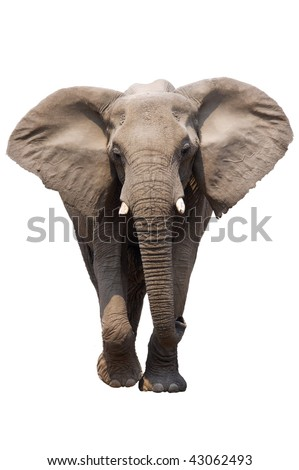 African Elephant isolated on white; Loxodonta Africana; Etosha - stock photo
