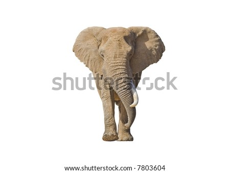 African Elephant isolated on white with lots of copy-space - stock photo