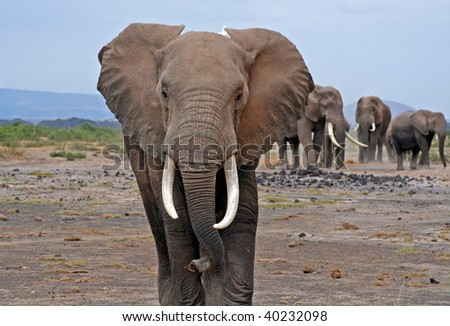 African Elephant, Kenya - stock photo