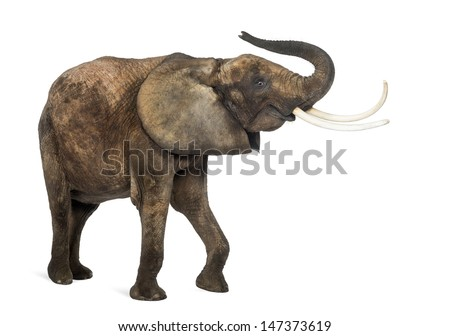 African elephant lifting its trunk, isolated on white