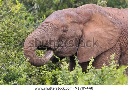 African elephant (loxodonta africana) at the Addo Elephant Park in South Africa.